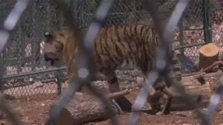 Tigers Rescued From Aleppo Moved To A New Home