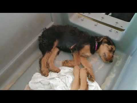Kennel Training Airedale Terrier Puppy Puppies For Sale On June 20, 2018