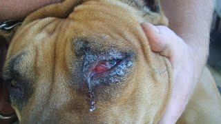 У собаки гноятся глаза. Травма глаза у собаки. Интересный случай