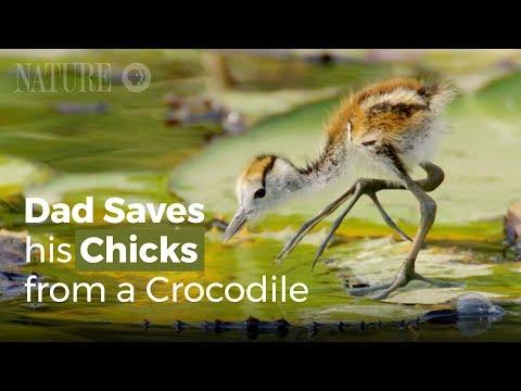 Gà Lôi Nước Bố Giải Cứu Các Con Khỏi Nanh Cá Sấu