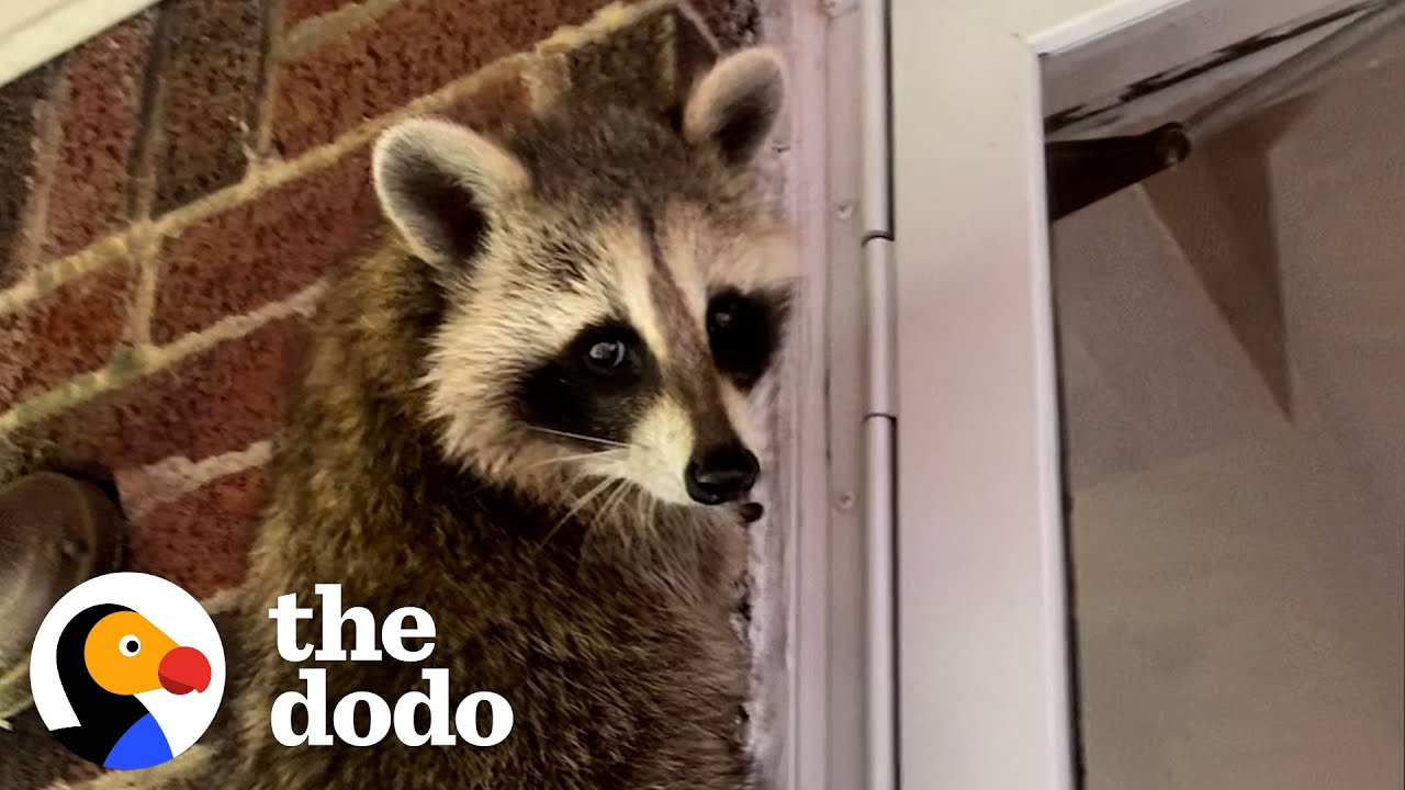 Rehabbed Raccoon Comes Back Every Night To Visit Some Unlikely Friends | The Dodo