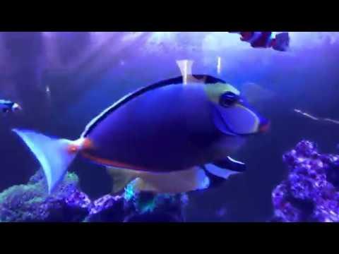 fowleri tang saltwater fish saltwater tank youtube