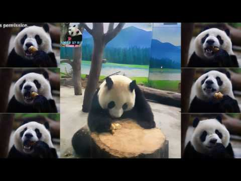 20170324 圓仔的滿筍全席 The Giant Panda Yuan Zai