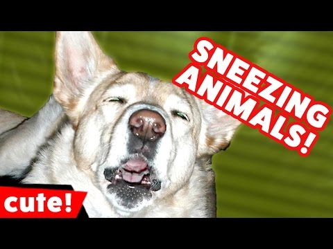 Funniest Sneezing Pet & Animal Videos November 2016 Weekly Compilation | Kyoot Animals