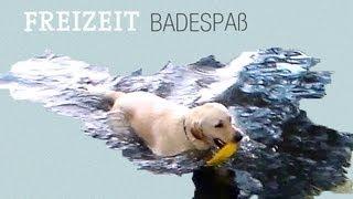 Labrador Retriever Schwimmt Apportiert Im Wasser - Follow Ikarus Around - Swim Swimming Apportieren