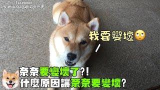 【柴犬Nana(奈奈)】奈奈準備變壞孩子了?!