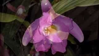Orchids - Flowers from Central and South America.avi