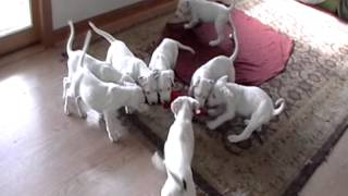 Dogo Argentino puppies Hunting in pack 2 002