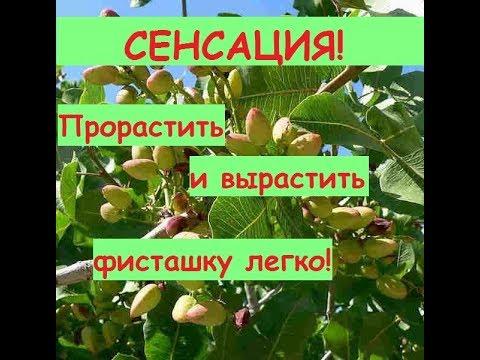 Как растет фисташковое дерево