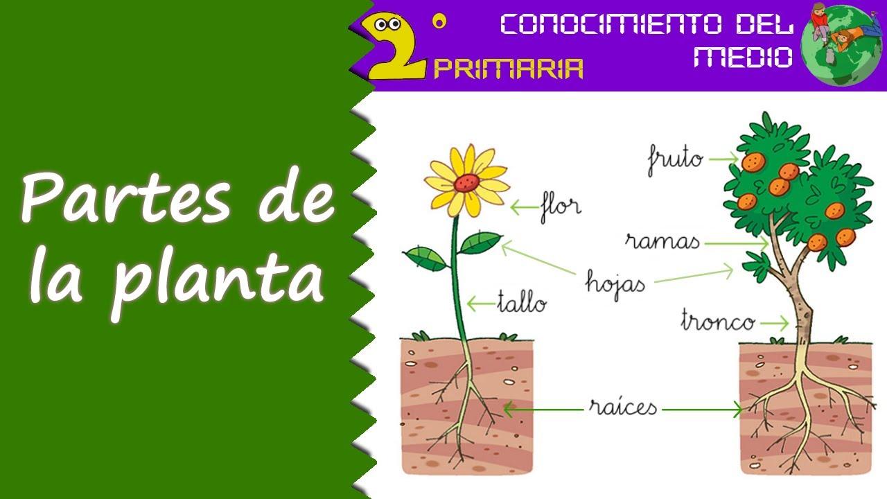 Cono 2 primaria tema 6 las partes de la planta youtube - Cosas sobre las plantas ...