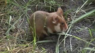 Дикий хомяк возле норы/ Wild hamster
