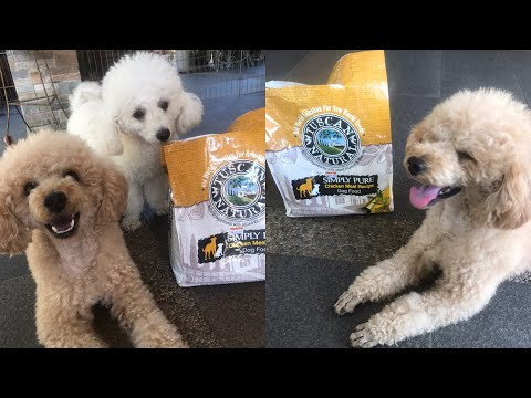 Funny Poodle Video and Cute Dog Compilation