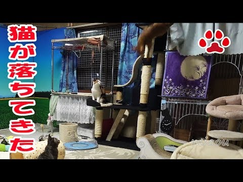 WOW! Tabby cat Chipie knocked out Abyssinian cat Luca.[Cats room Miaou]