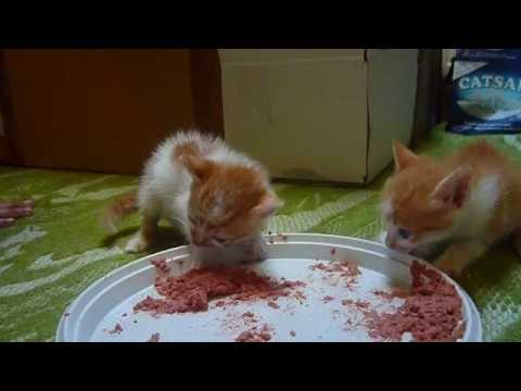 Kittens eating cat food for the first time.