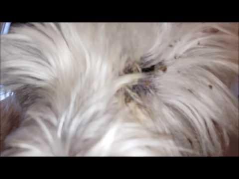 Allergies At Westie Dog
