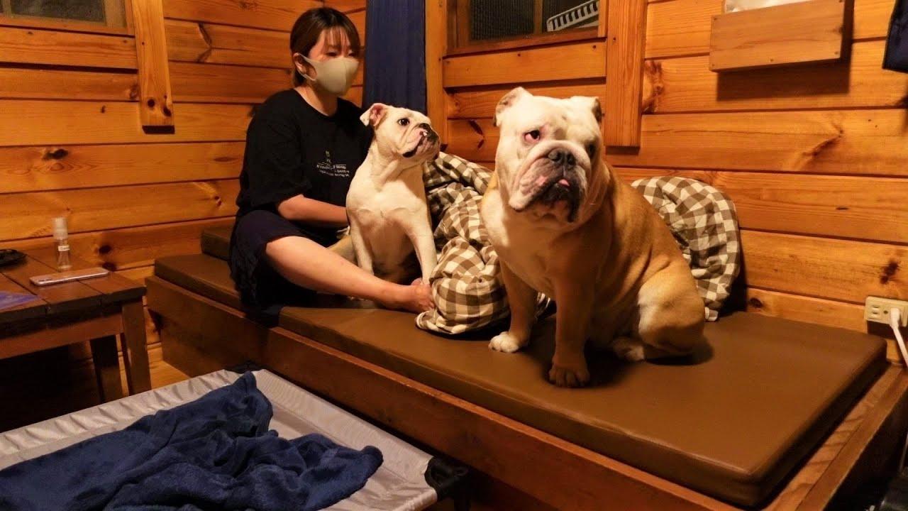 Yogibo以外で寝る事に一抹の不安を覚えるブルドッグ