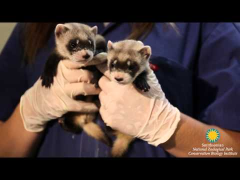 Black footed ferret kits summer 2015