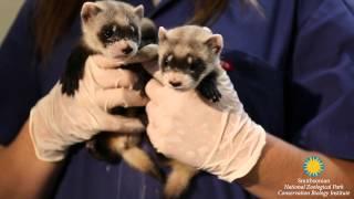 Black footed ferret kits summer 2015
