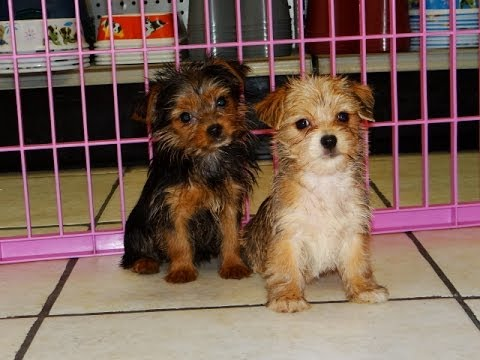 yorkie puppies for sale in ga yorkie pom puppies dogs for sale in atlanta georgia 3612