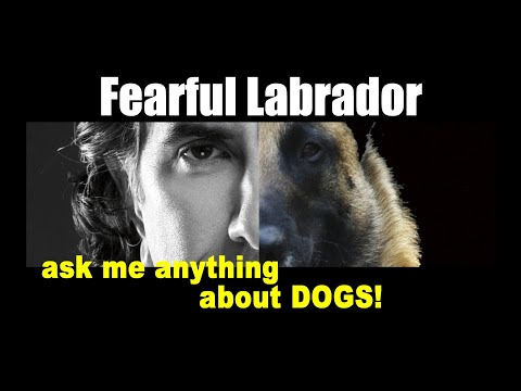 My Labrador Fears EVERYTHING - Robert Cabral Dog Training Video - ask me anything
