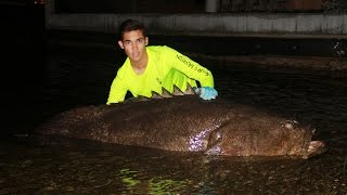 Monster Goliath Grouper Caught from Land!