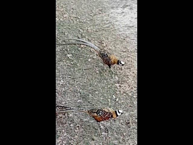 Reeves Cock Pheasants