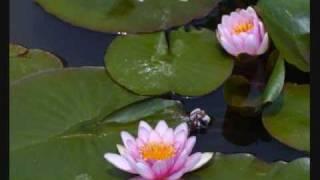 A Water Lily ~ jia peng fang
