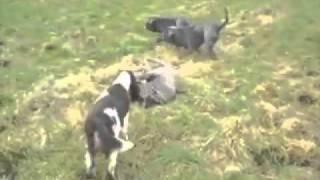 Bull Mastiff Pics - Carlyquinn English Springer Spaniels.flv