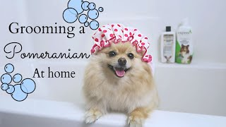How to Groom a Pomeranian AT HOME! DIY for beginners | Bath Time with Daisy