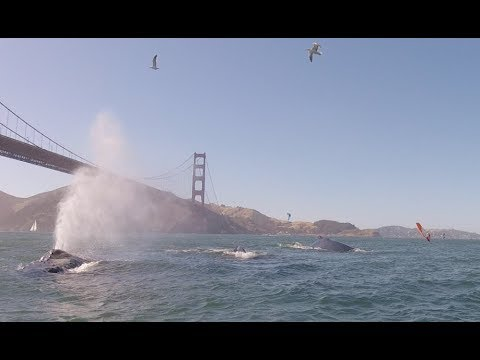 Humpback Whales in San Francisco