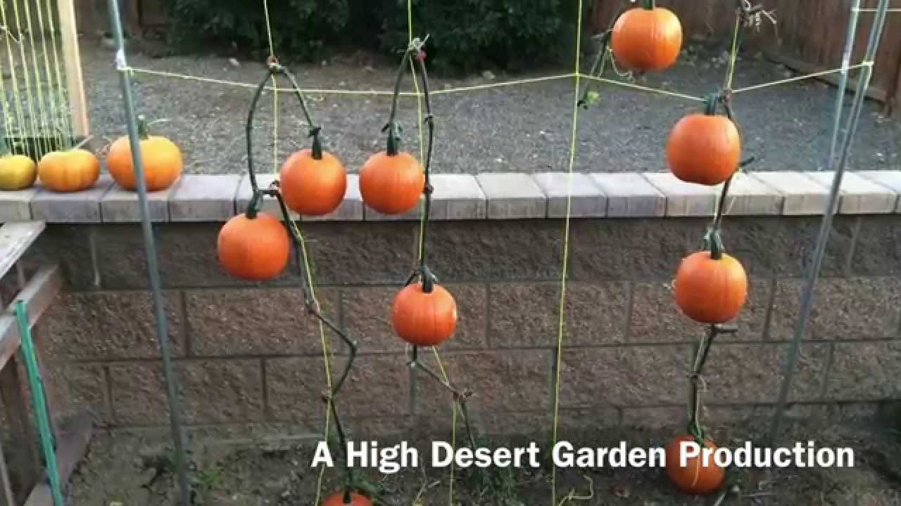 How To Grow And Trellis Pie Pumpkins Youtube