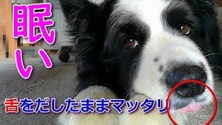 我が家の癒し系愛犬ハリーくんは仔犬の頃からよく舌をだしたままです。...