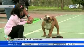 В Перу бульдоги научились кататься на скейтбордах