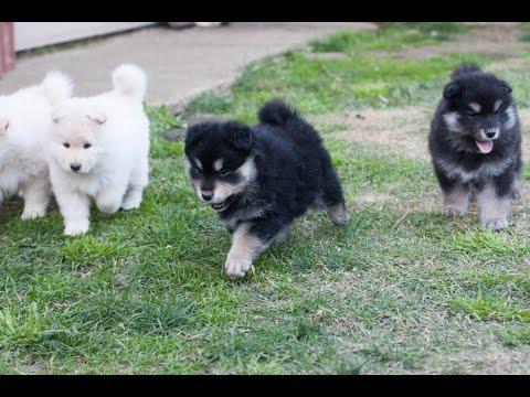 Finnish Lapphund Puppies - 6 weeks - Armahani Iolite Litter