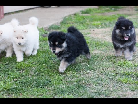 Finnish Lapphund Puppies - 6 weeks - Armahani Iolite Litter