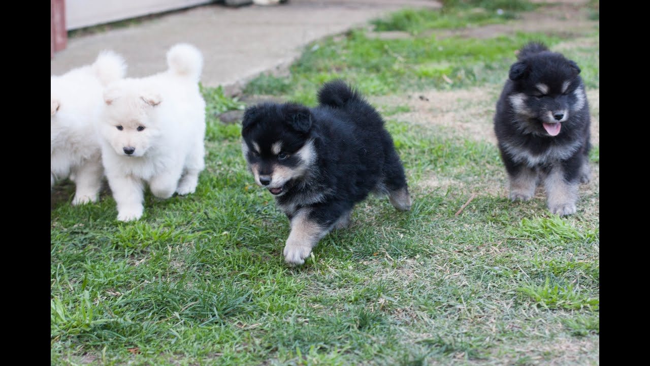 Finnish Lapphund Puppies - 6 weeks - Armahani Iolite ...