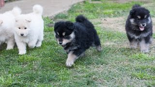 Finnish Lapphund Puppies  6 weeks  Armahani Iolite Litter