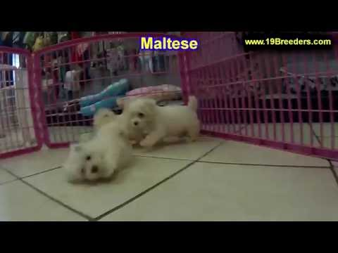 Maltese, Puppies, For, Sale, In, Anchorage, Alaska,AK, Fairbanks, Juneau, Eagle River