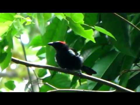 Tawny-crested Tanager  - Tachyphonus Delatrii - Ensenada De Utria- Birds Choco