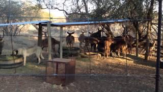 Anatolian Shepherd/kangal Dog Protecting Nyala Antelope In South Africa