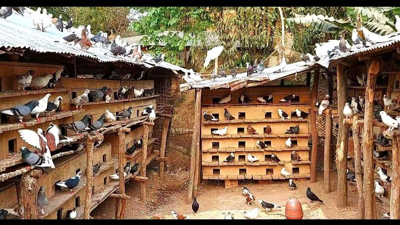 Download 10 Most Beautiful Fancy Pigeons Collection | Indian Pigeons | World Unique Amazing Pigeon Farm In bd
