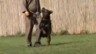 Rottweiler Hellastar Ulysses - Bh, Ipo-3, Ztp