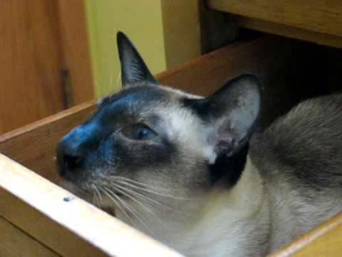 Siamese cat talks while sitting in a drawer