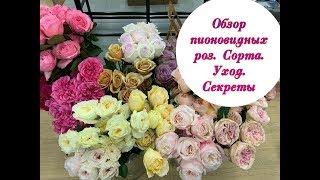 пИОНОВИДНАЯ РОЗА  Сорта  Уход  Секреты. Peony Roses Varieties Care Secrets