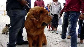 Dog Mating | Beautifull dog | world Big dog | dog show | funny videos | animal|