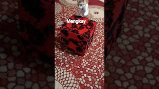CUTE KITTEN PLAYING ALONE  ENJOYING  CAT PLAYING  KITTEN PLAYING  MESAIEED QATAR