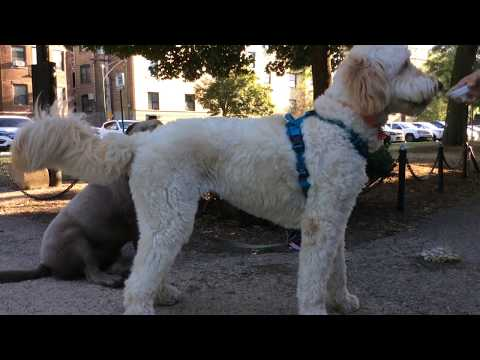GROODLE or GOLDEN DOODLE and SILVER LAB Cali n Sissy