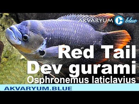 Osphronemus Laticlavius - Giant Red Tail Gourami - Kırmızı Kuyruklu Dev Gurami