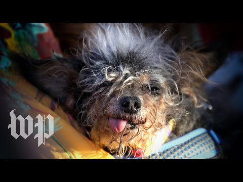 Meet Scamp the Tramp, the 'World's Ugliest Dog'
