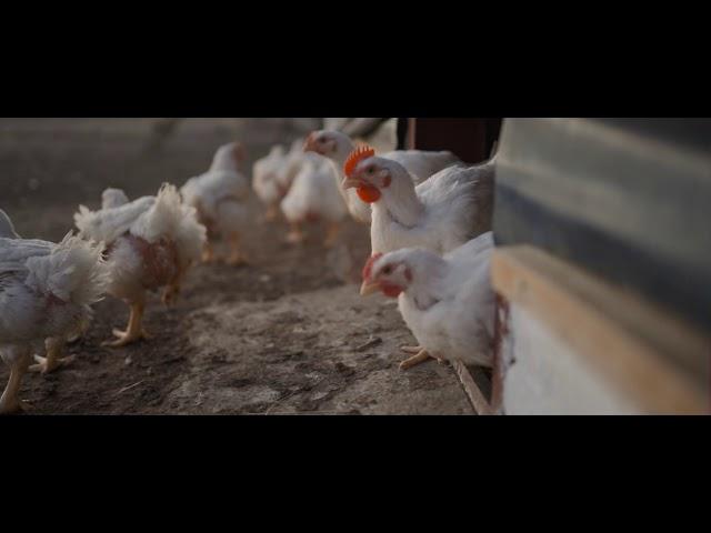 Noorsveld Chicken Introduction